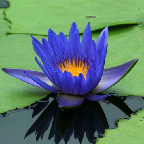 Blue lotus nymphaea caerulea choco balls herbalcode blue lotus nymphaea caerulea mightylinksfo Image collections