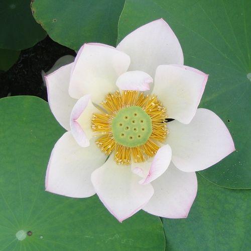 ... White Lotus (Nelumbo Nucifera)